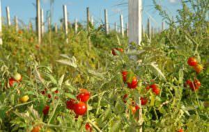 Томаты сибирской селекции: описание сортов и отзывы огородников