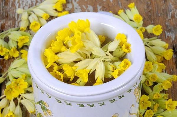 Первоцвет весенний (примула лекарственная): удивительные свойства целебной травы