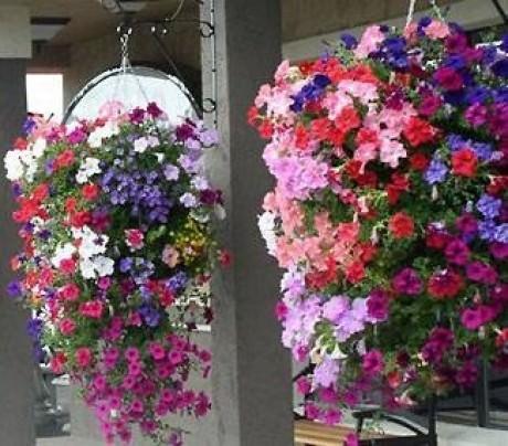 Ампельные цветы для кашпо: фото и названия, критерии выбора.