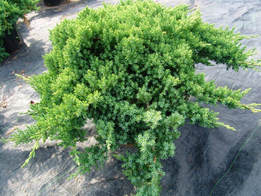 Можжевельник: описание видов, особенности посадки и ухода в открытом грунте