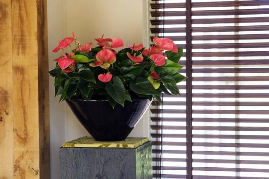 Капризный антуриум: как правильно пересадить цветок