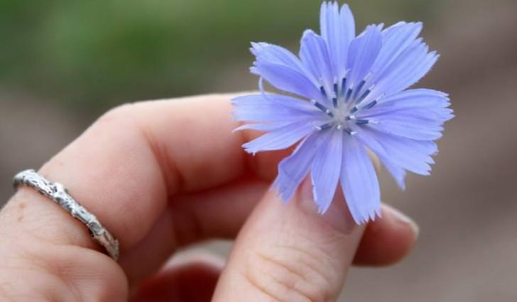 Цикорий обыкновенный: лечебные свойства, противопоказания и особенности применения растения