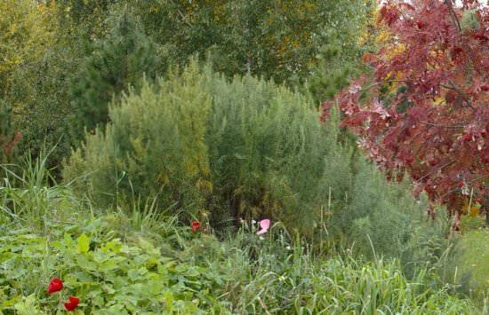 Цитварное семя полыни: полезные свойства и применение травы