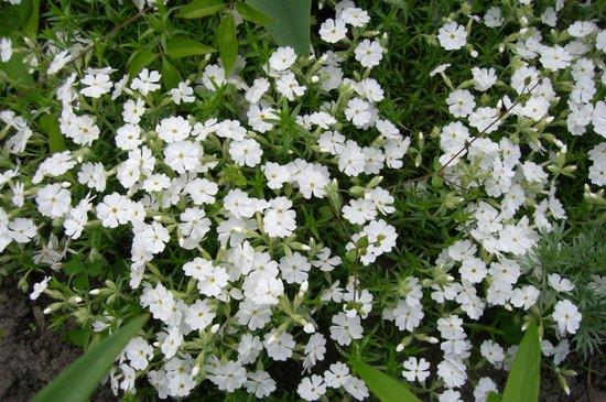Флоксы в саду: способы размножения, особенности посадки и ухода