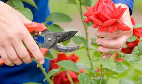 Правильная осенняя обрезка разных видов роз: инструкция для начинающих