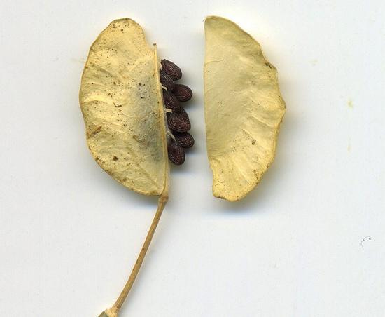 Ярутка полевая: полезные свойства растения и применение в народной медицине