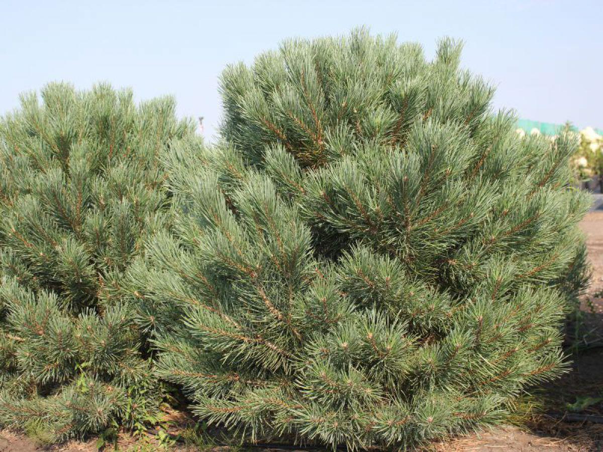 Сосна обыкновенная, или дерево-лекарь, производящее янтарь