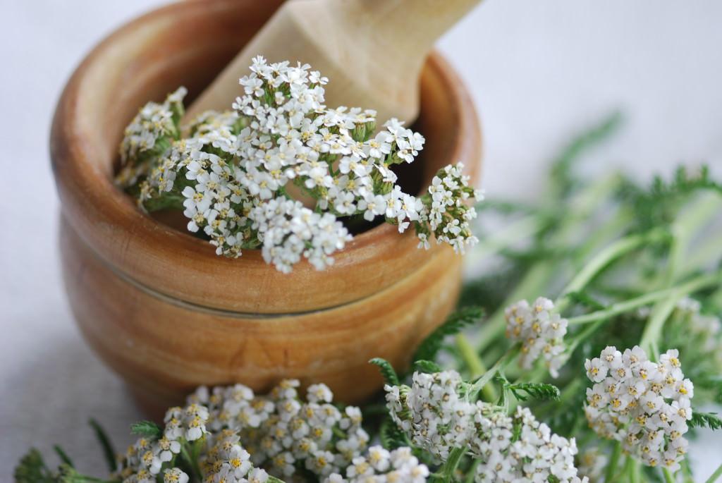 Тысячелистник: лечебные свойства и противопоказания лекарственного растения