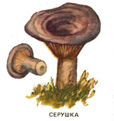 фото гриб серушка