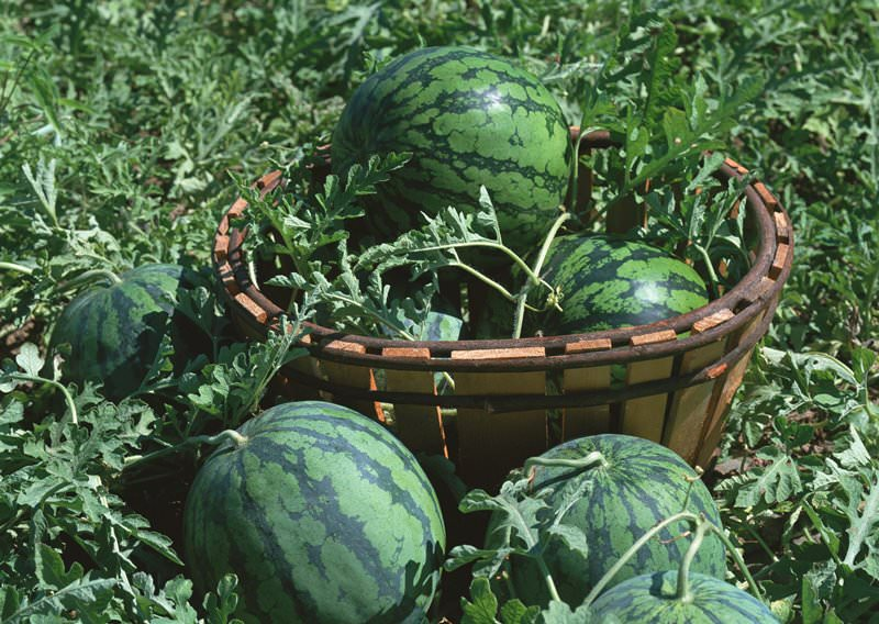 Выращивание арбузов в Подмосковье в теплице и в открытом грунте