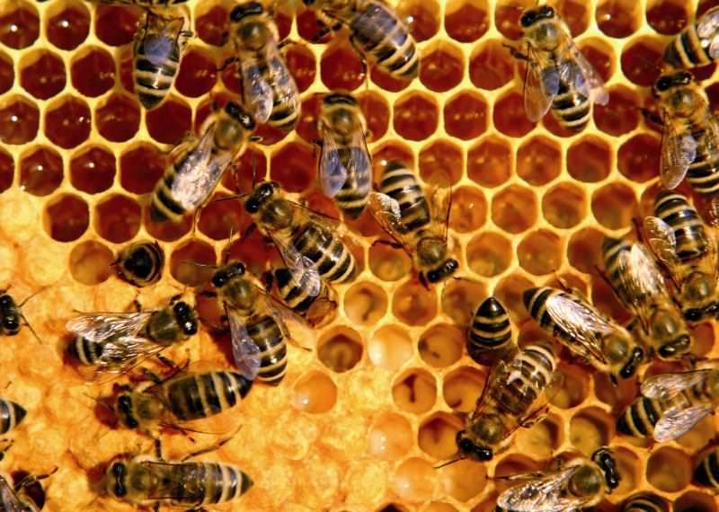 Домашняя пасека: как пчелы делают мед