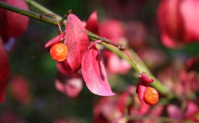 Бересклет крылатый: виды и сорта, правила ухода за растением