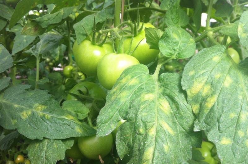 Известные болезни и вредители томатов, меры профилактики