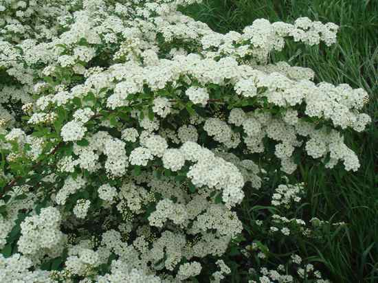 Растения с белыми цветами: от почвопокровных до высоких деревьев