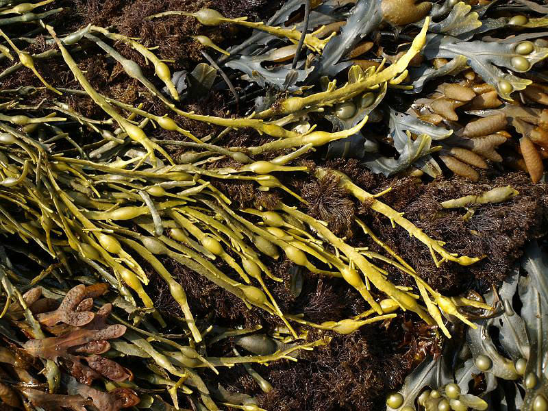 Бурые водоросли в медицине, кулинарии и косметологии