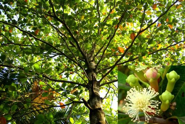 Гвоздичное дерево:пряность и лекарство одновременно