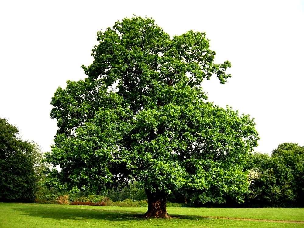 Дуб обыкновенный: места обитания, ботаническое описание и лечебные свойства дерева