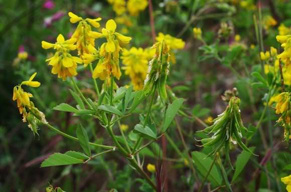 Пажитник сенной (шамбала): лечебные и полезные свойства пряного растения