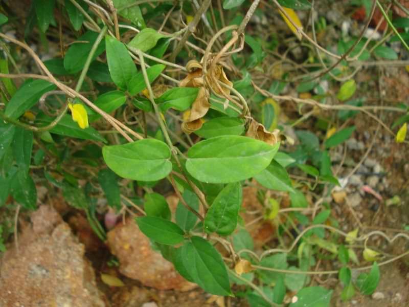 растение джимнема сильвестра фото заядлые