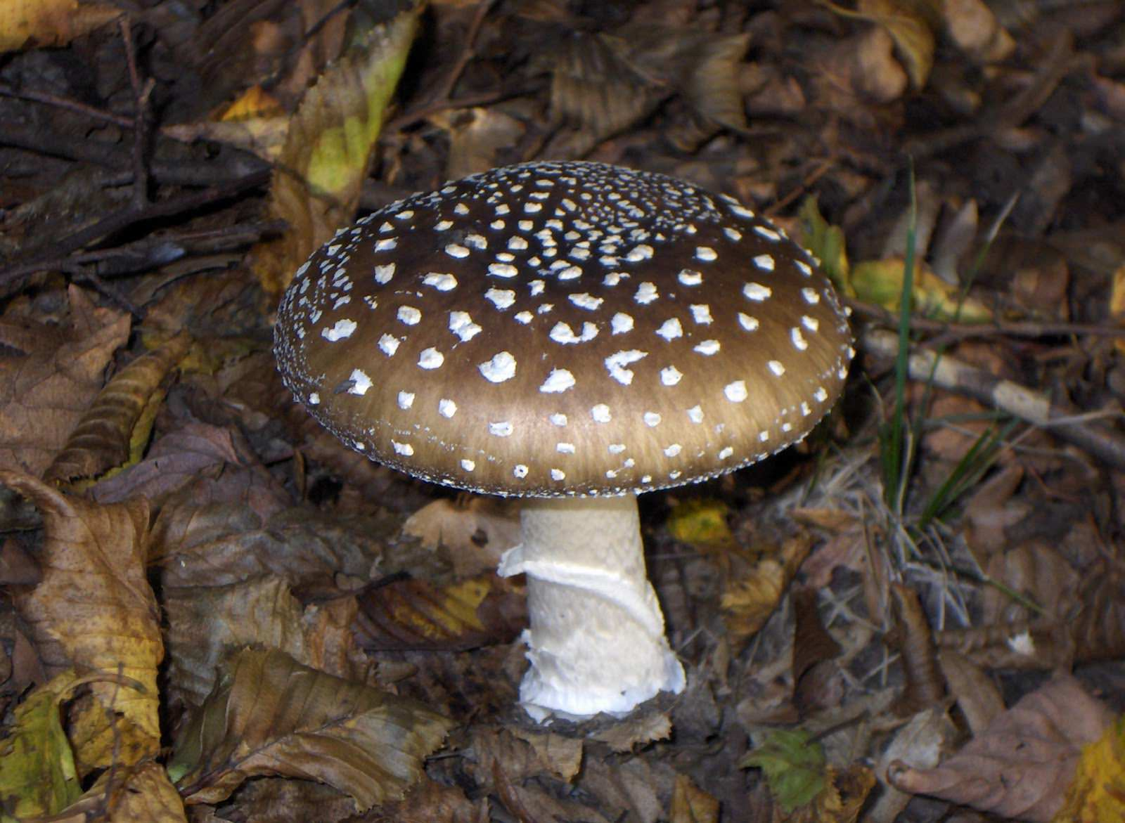 Съедобные и несъедобные грибы Краснодарского края