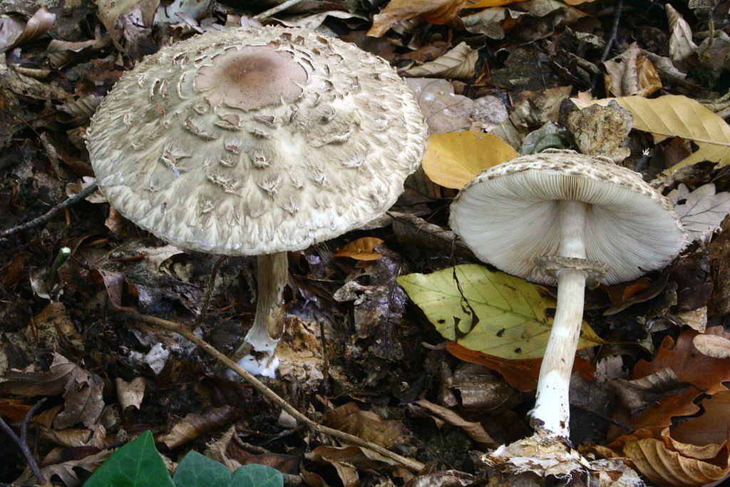 Гриб зонтик: съедобные и ядовитые виды