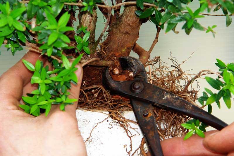 Мирт обыкновенный: секреты правильного выращивания и размножения в домашних условиях