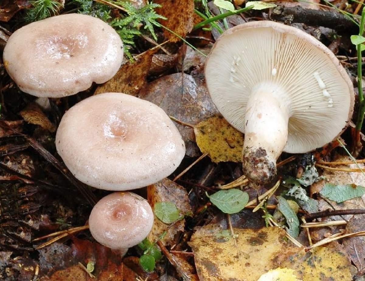 Розовые и белые волнушки: внешний вид и способы приготовления грибов