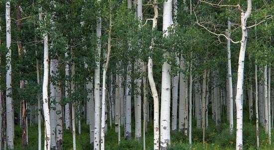 Как выглядит осина, и чем она полезна