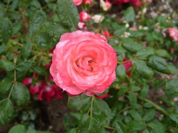Выращиваем почвопокровные розы в своем цветнике