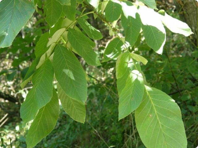листья ореха от сахарного диабета