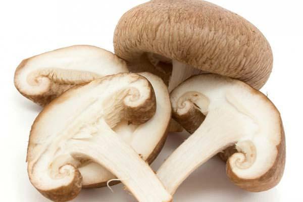 Гриб шиитаке: лечебные свойства и особенности самостоятельного выращивания