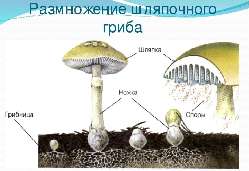 Многообразие шляпочных грибов: особенности и описание