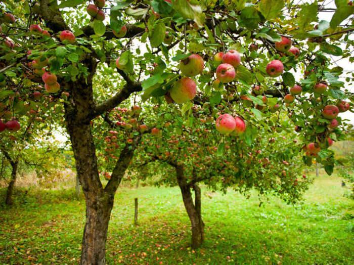 Домашние яблоки: лечебные свойства и применение в народной медицине