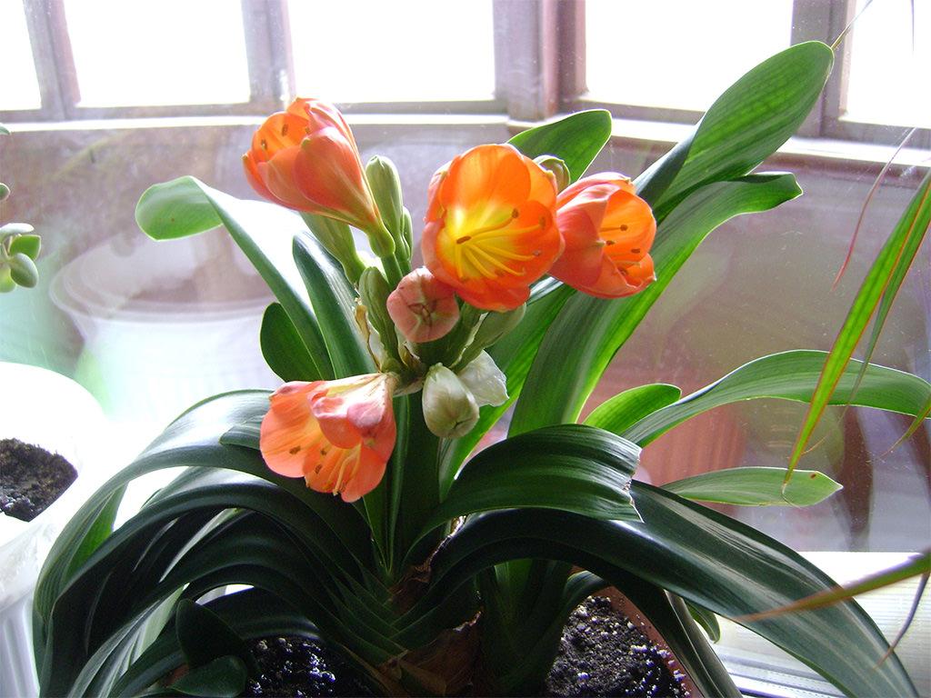 Цветок кливия: видовое разнообразие и особенности ухода в домашних условиях