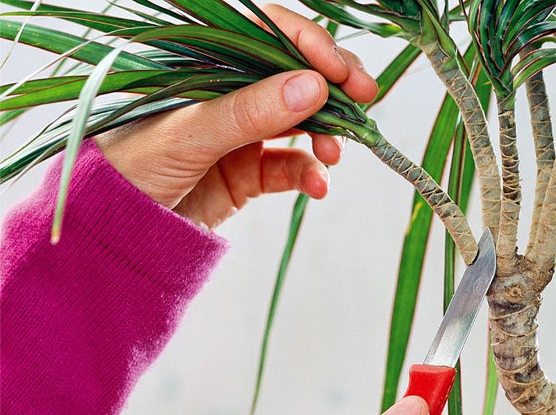 Как надо обрезать драцену для получения боковых побегов