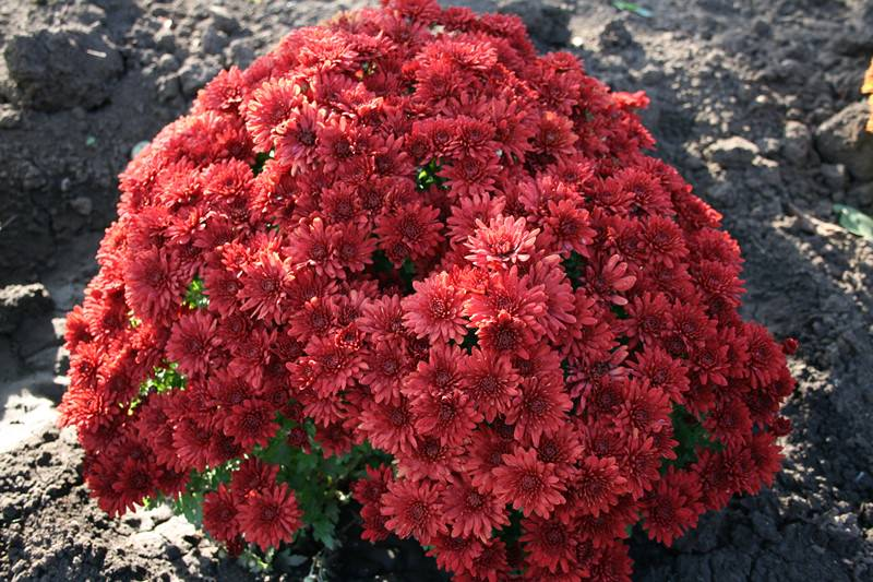 Правильный уход за хризантемами осенью и подготовка к зиме