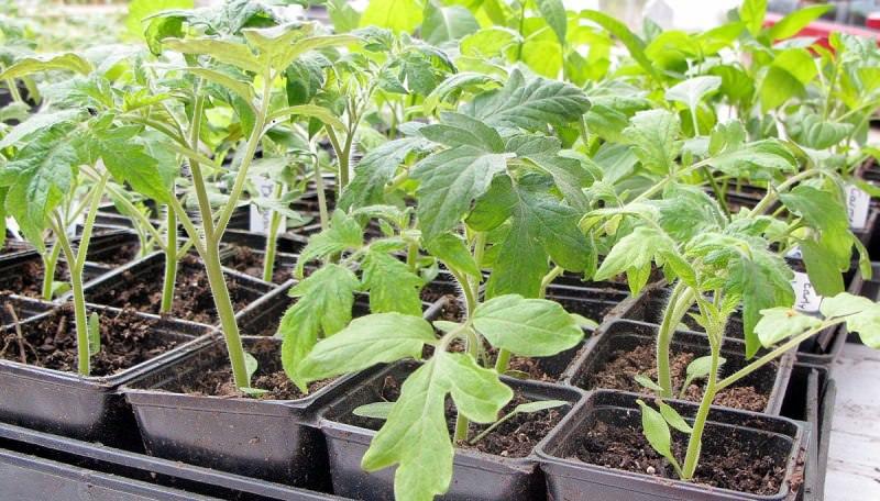 Почему не растет рассада помидоров дома: основные причины