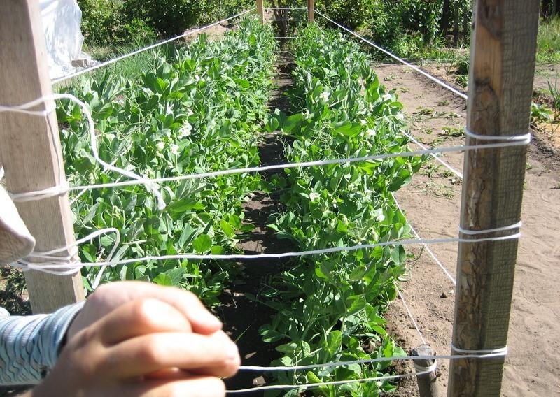 Как правильно подвязывать помидоры