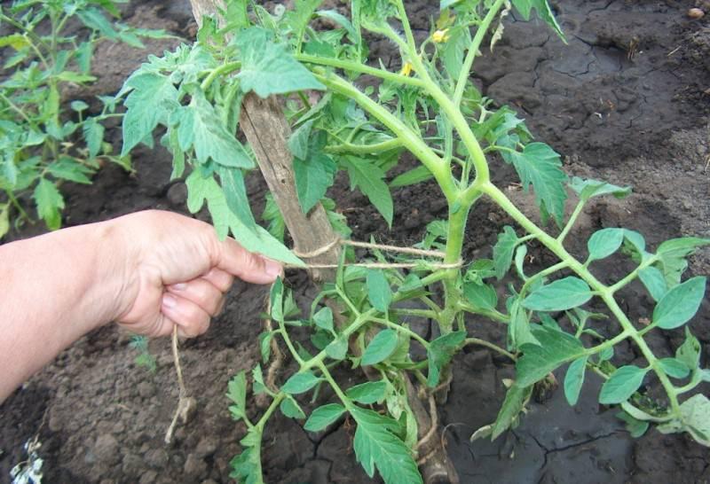 Видео правильной подвязки помидоров в теплице из поликарбоната