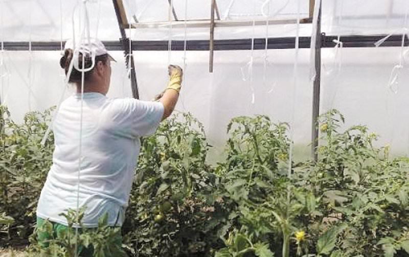 Правила подвязки помидоров в теплице из поликарбоната