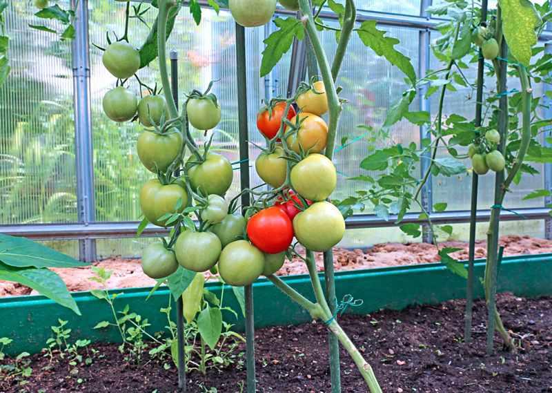 Когда обычно высаживают помидоры в теплицу в Подмосковье?