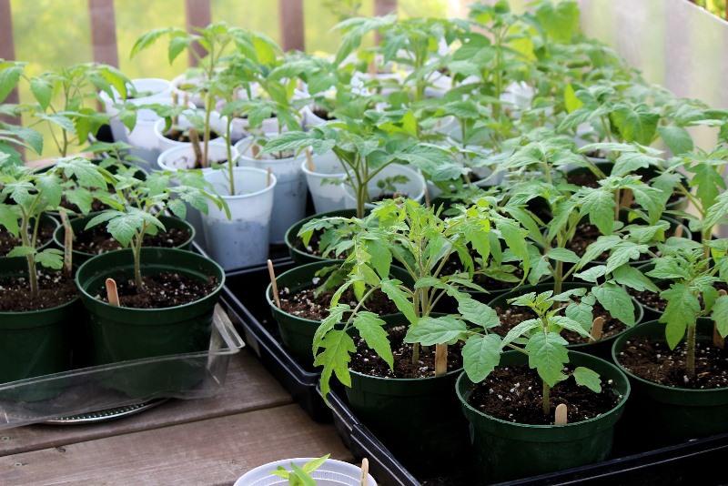 Как избежать вытягивания рассады помидоров