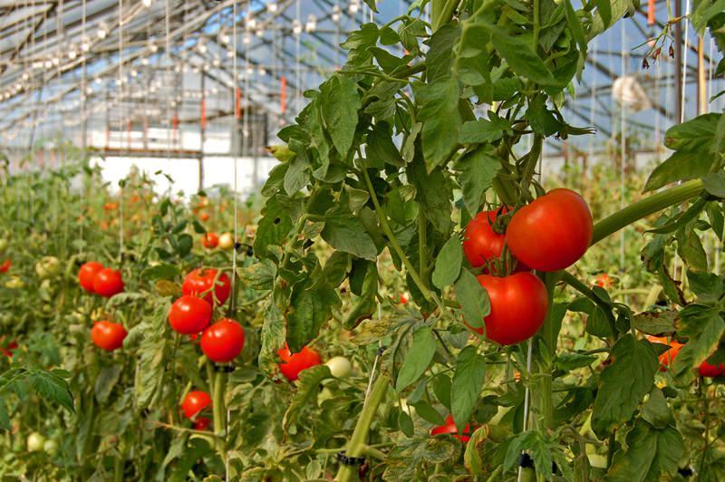 Когда высаживать помидоры в теплицу в Подмосковье