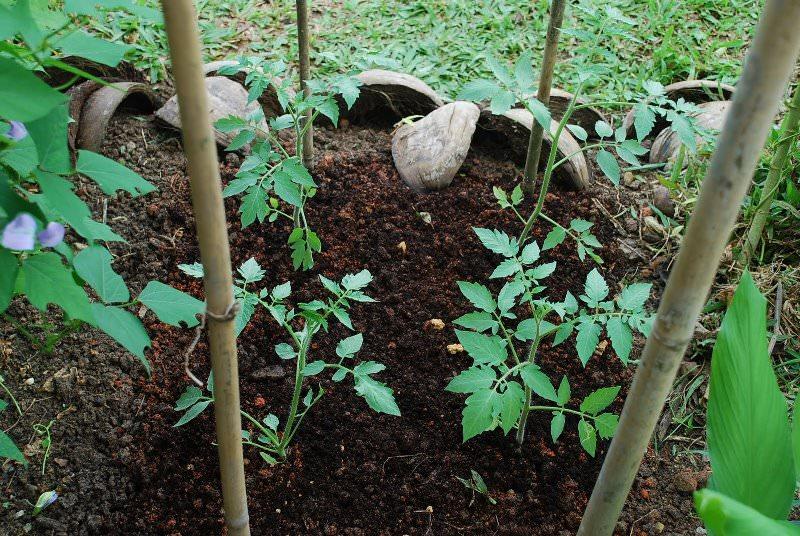 Что делать, если рассада помидоров плохо растет: мнение Ганичкиной