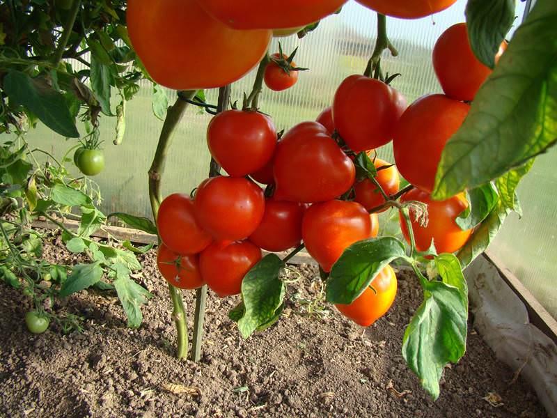 Почему бывает мало листьев на помидорах