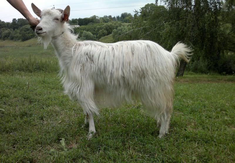 Популярные породы коз: описание и достоинства