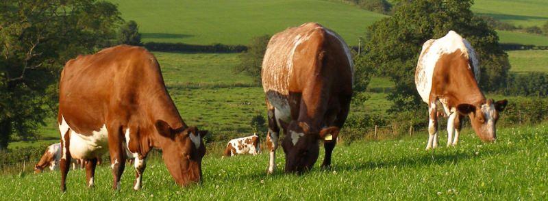 Популярные породы коров: описание и особенности