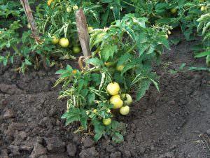 Когда производится посадка помидоров в открытый грунт в Украине