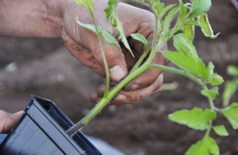 Благоприятные дни для посадки томатов в апреле