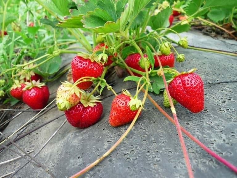 как правильно посадить семена свеклы